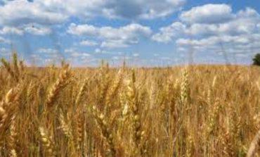 30 % от пшеницата изнесена през порт Варна