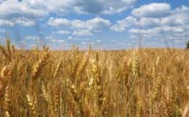 пшеница (Small)