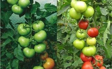 домати (Small)