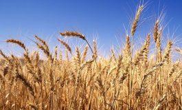 Все още не е приключила жътвата на пшеница в община Бяла