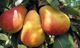443 кг/дка е средният добив на круши в региона след прибиране на реколтата