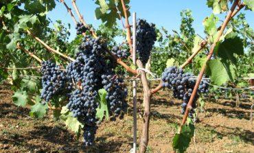 В общините Ветрино и Долни чифлик се отчитат най-високи добиви от грозде