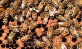 Шведи ще спасяват пчелите с изкуствен интелект