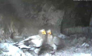 Семейството египетски лешояди от Провадия няма да имат малки