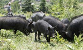 2,5 дка за едно животно от породата Източнобалканска свиня