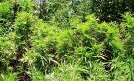 Разбиха наркооранжерия във ветринско село