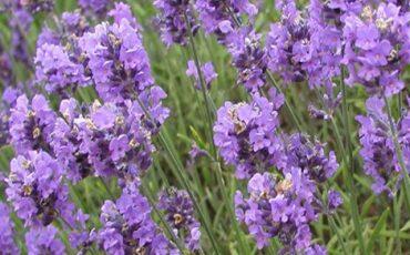 Lavender9 (Small)
