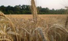 При среден добив 487 кг/дка приключи прибирането на реколтата от ечемик в областта