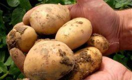 Добри са добивите от картофи в областта