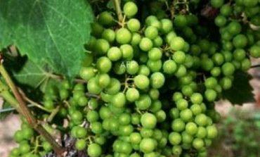 Започна прибирането на реколтата от десертен сорт грозде в Провадия