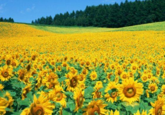 Започна жътвата на слънчоглед в областта, пропадналите площи са 13 855 дка