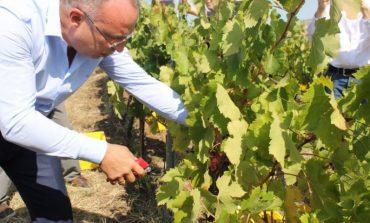 200 000 тона грозде отиват за вино тази година