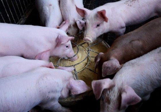 Свиневъдството става все по-перспективен бранш