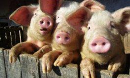 Кабинетът отпуска 30 млн. лева за хуманно отношение към свинете