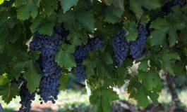 Близо 134 млн. евро ще бъде подпомагането на лозаро-винарския сектор от 2019 г.
