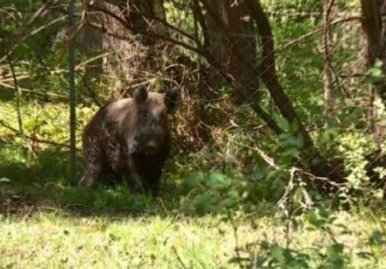Обучават ловците за мерките срещу африканска чума по свинете