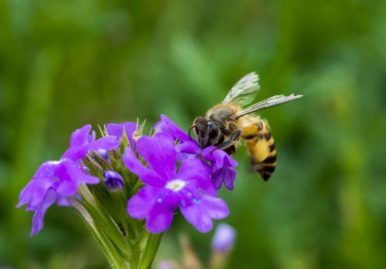 Какво ще стане, ако пчелите изчезнат
