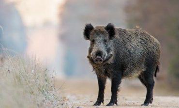 Проверяват сигнал за чума по свинете в село Тутраканци