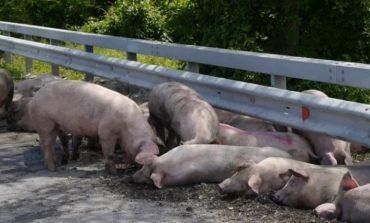 Още тази вечер ще бъдат евтаназирани и загробени всички прасета в село Тутраканци