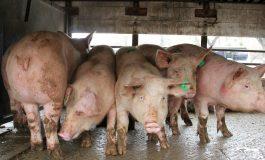 До края на месеца ще останат загражденията около село Тутраканци, поставени заради случаите на африканска чума по свинете