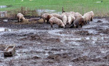 Филчо Филев, кмет на Провадия: Организираме преброяване на прасетата за лично ползване на територията на общината