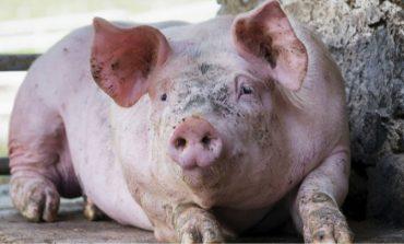 """Кметът на Девня: """"Не опитвайте самолечение на прасетата ако забележите признаци на болест"""""""