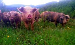 Призовават собствениците на домашни прасета в района на Провадия доброволно да заколят животните си