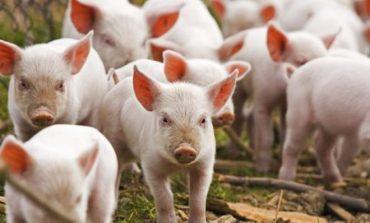 Пак вземат проби за чума от свинете в Бозвелийско