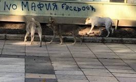 Бездомни кучета на глутници в центъра на Провадия