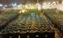 Районната прокуратура в Девня привлече като обвиняем мъж, отглеждал 14 растения марихуана в оранжерия