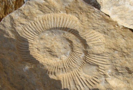 Голям фосил на праисторически охлюв е открит в скалите край Аврен