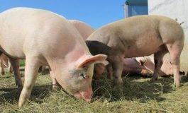 Държавата обезщетява собствениците на умъртвени прасета в село Тутраканци
