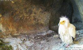 Наблюдаваме на живо дивия свят на египетските лешояди