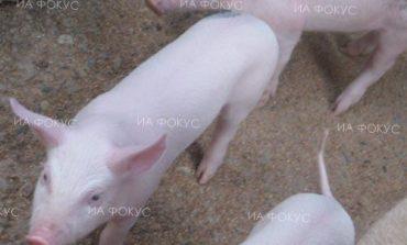 Д-р Светлозар Стоянов, ветеринарен лекар в свинекомплекса в Слънчево: Ако фермата бъде засегната от африканска чума, ще трябва да унищожим всички прасета