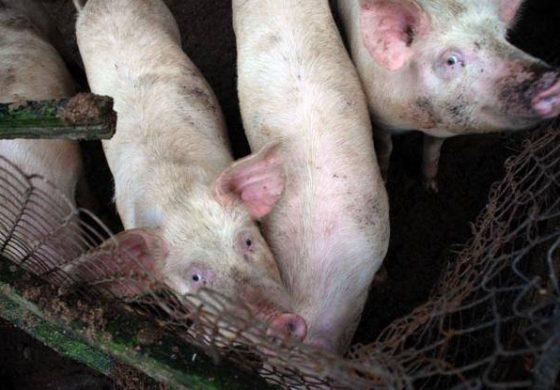 До 300 лв. глоба за кметовете, отказали да умъртвят домашните прасета