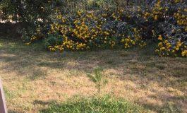 В Община Аврен бяха засадени безвъзмездно 2000 броя фиданки