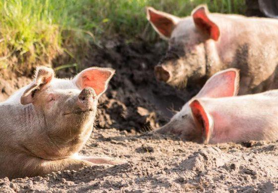Срокът за доброволно умъртвяване на свинете в Южна България изтича днес