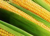 Цените на царевицата падат