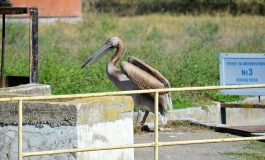 Бедстващ розов пеликан спасиха общински служители в Девня