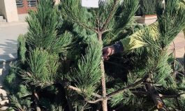 Продават коледни дръвчета с благотворителна цел в Дългопол за лечение на болни мъж и жена