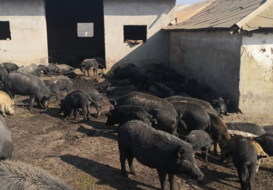 Чумата ликвидира още две свинеферми в Старо Оряхово и Дебелец