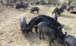 Чумата порази нови стопанства в село Цонево
