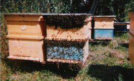 Община Силистра уведомява пчеларите да предприемат мерки по опазване здравето на пчелите