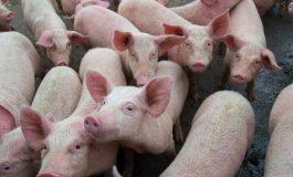 В село Юнец избиват 212 прасета заради африканска чума